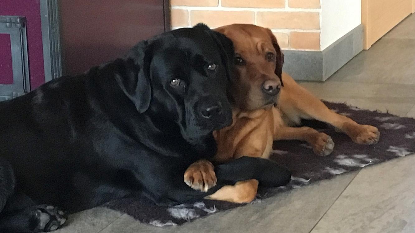 Wurfplanung Labrador-Welpen